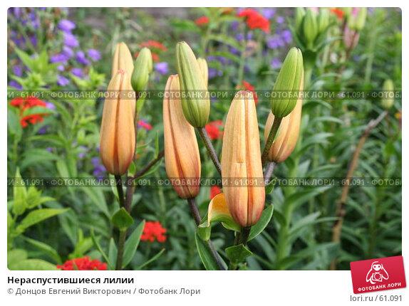 Нераспустившиеся лилии, фото № 61091, снято 9 июля 2007 г. (c) Донцов Евгений Викторович / Фотобанк Лори