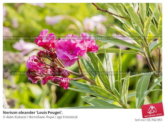 Nerium oleander 'Louis Pouget'. Стоковое фото, фотограф Alain Kubacsi / age Fotostock / Фотобанк Лори