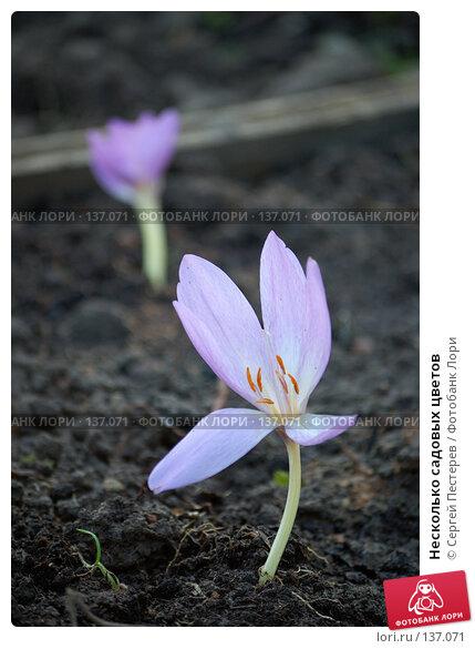 Купить «Несколько садовых цветов», фото № 137071, снято 21 сентября 2007 г. (c) Сергей Пестерев / Фотобанк Лори