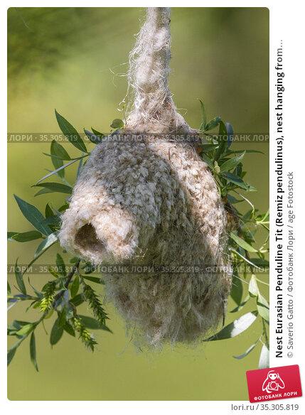 Nest Eurasian Penduline Tit (Remiz pendulinus), nest hanging from... Стоковое фото, фотограф Saverio Gatto / age Fotostock / Фотобанк Лори