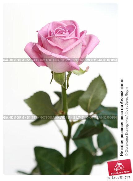 Нежная розовая роза на белом фоне, фото № 51747, снято 29 марта 2007 г. (c) Останина Екатерина / Фотобанк Лори