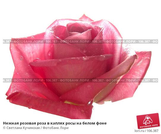 Нежная розовая роза в каплях росы на белом фоне, фото № 106387, снято 22 января 2017 г. (c) Светлана Кучинская / Фотобанк Лори