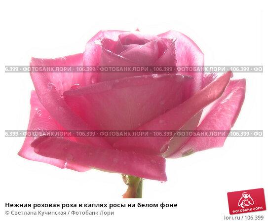 Купить «Нежная розовая роза в каплях росы на белом фоне», фото № 106399, снято 27 апреля 2018 г. (c) Светлана Кучинская / Фотобанк Лори