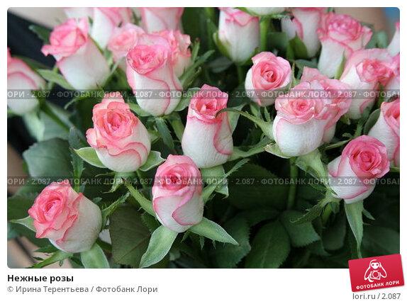 Нежные розы, эксклюзивное фото № 2087, снято 15 июля 2005 г. (c) Ирина Терентьева / Фотобанк Лори