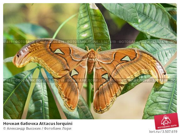 Ночная бабочка Attacus lorquini. Стоковое фото, фотограф Александр Высоких / Фотобанк Лори
