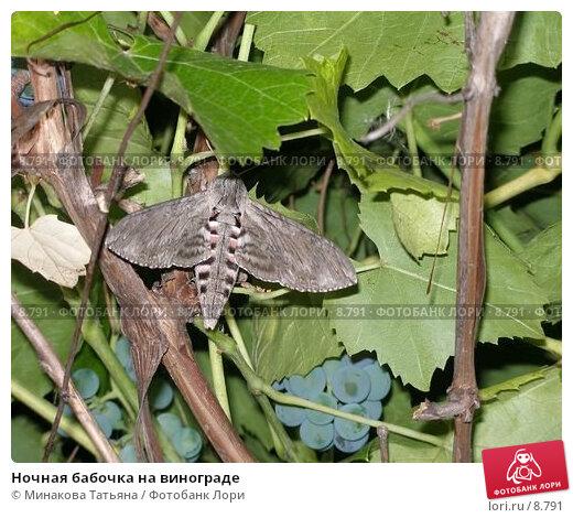 Ночная бабочка на винограде, фото № 8791, снято 28 мая 2017 г. (c) Минакова Татьяна / Фотобанк Лори