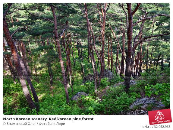 North Korean scenery. Red korean pine forest (2019 год). Стоковое фото, фотограф Знаменский Олег / Фотобанк Лори