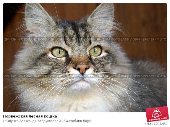 Норвежская лесная кошка, фото № 294439, снято 17 мая 2008 г. (c) Окунев Александр Владимирович / Фотобанк Лори
