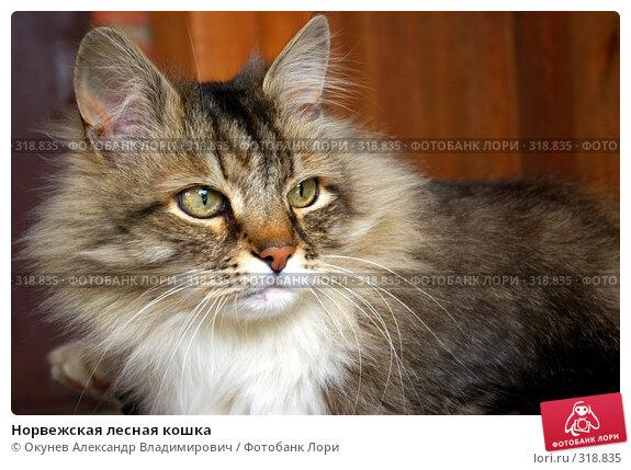 Норвежская лесная кошка, фото № 318835, снято 8 июня 2008 г. (c) Окунев Александр Владимирович / Фотобанк Лори