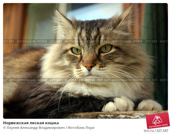 Купить «Норвежская лесная кошка», фото № 327347, снято 17 июня 2008 г. (c) Окунев Александр Владимирович / Фотобанк Лори