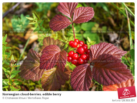 Купить «Norwegian cloud-berries. edible berry», фото № 28503351, снято 21 августа 2017 г. (c) Степанов Илья / Фотобанк Лори