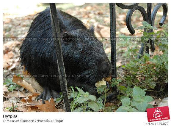 Купить «Нутрия», фото № 149079, снято 6 сентября 2007 г. (c) Максим Яковлев / Фотобанк Лори