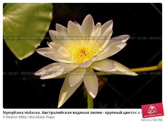 Купить «Nymphaea violacea. Австралийская водяная лилия - крупный цветок в солнечном свете.», фото № 33743, снято 7 мая 2007 г. (c) Eleanor Wilks / Фотобанк Лори