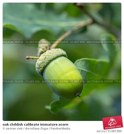 Купить «oak childish calibrate immature acorn», фото № 11097959, снято 22 апреля 2019 г. (c) PantherMedia / Фотобанк Лори