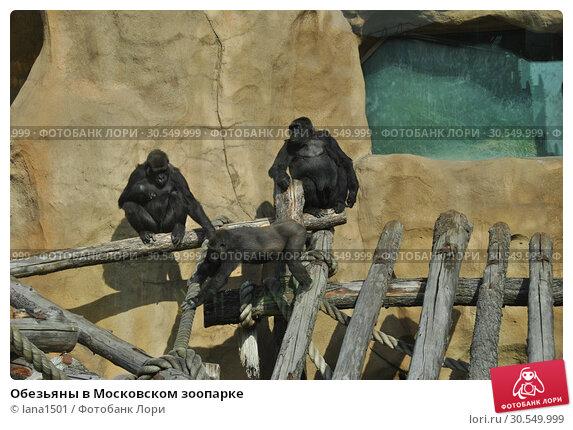 Купить «Обезьяны в Московском зоопарке», эксклюзивное фото № 30549999, снято 26 сентября 2014 г. (c) lana1501 / Фотобанк Лори