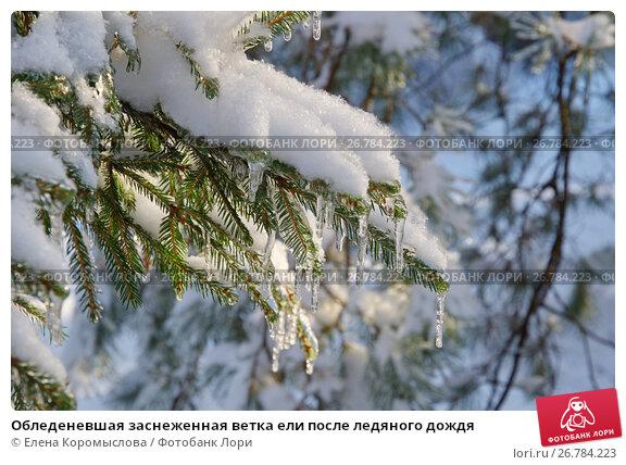 Обледеневшая заснеженная ветка ели после ледяного дождя, фото № 26784223, снято 15 ноября 2016 г. (c) Елена Коромыслова / Фотобанк Лори