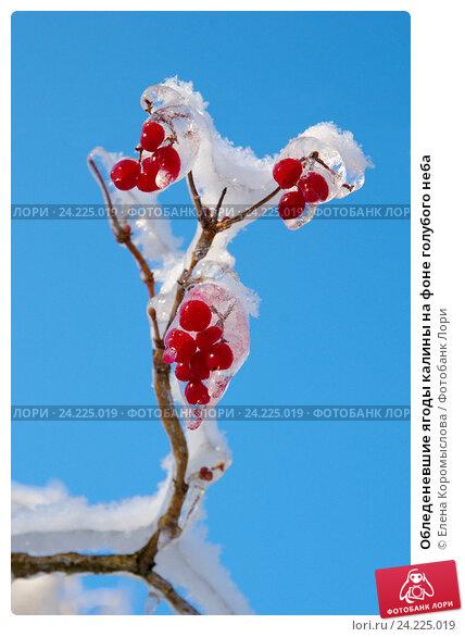 Купить «Обледеневшие ягоды калины на фоне голубого неба», фото № 24225019, снято 15 ноября 2016 г. (c) Елена Коромыслова / Фотобанк Лори