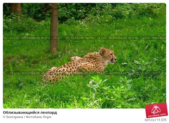 Облизывающийся леопард, фото № 11575, снято 26 августа 2006 г. (c) Екатерина / Фотобанк Лори