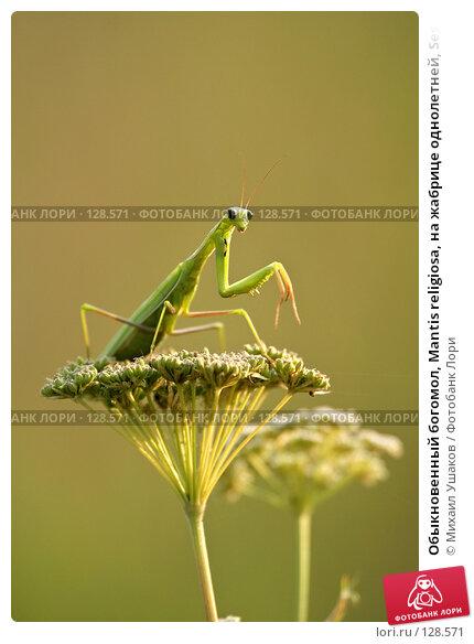 Обыкновенный богомол, Mantis religiosa, на жабрице однолетней, Seseli annuum, фото № 128571, снято 24 августа 2007 г. (c) Михаил Ушаков / Фотобанк Лори