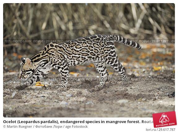 Купить «Ocelot (Leopardus pardalis), endangered species in mangrove forest. Roatan, Bay Islands Honduras, Central America, Latin America.», фото № 29617787, снято 15 мая 2009 г. (c) age Fotostock / Фотобанк Лори
