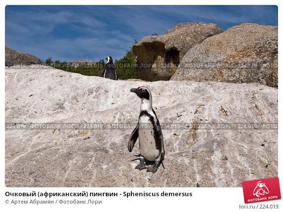 Очковый (африканский) пингвин - Spheniscus demersus, фото № 224019, снято 2 февраля 2008 г. (c) Артем Абрамян / Фотобанк Лори