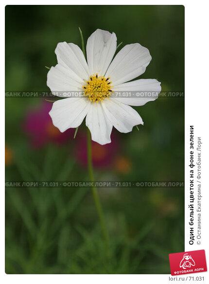 Один белый цветок на фоне зелени, фото № 71031, снято 10 августа 2007 г. (c) Останина Екатерина / Фотобанк Лори