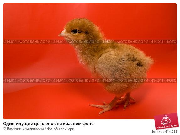 Купить «Один идущий цыпленок на красном фоне», фото № 414011, снято 19 апреля 2007 г. (c) Василий Вишневский / Фотобанк Лори