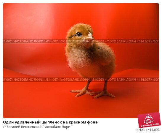 Купить «Один удивленный цыпленок на красном фоне», фото № 414007, снято 19 апреля 2007 г. (c) Василий Вишневский / Фотобанк Лори
