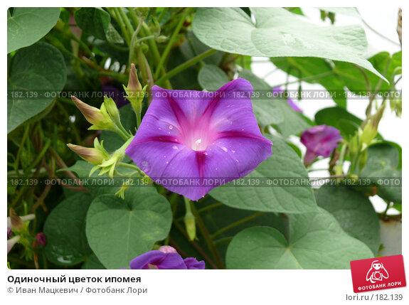 Одиночный цветок ипомея, фото № 182139, снято 8 сентября 2007 г. (c) Иван Мацкевич / Фотобанк Лори