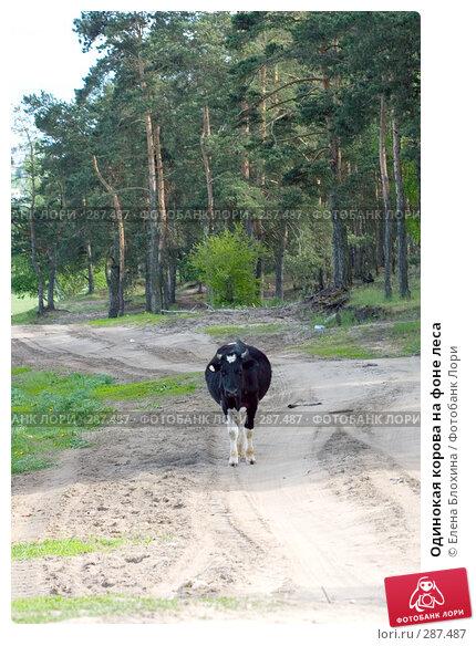 Одинокая корова на фоне леса, фото № 287487, снято 16 мая 2008 г. (c) Елена Блохина / Фотобанк Лори