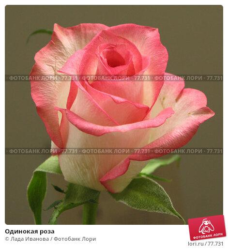Купить «Одинокая роза», фото № 77731, снято 16 июня 2007 г. (c) Лада Иванова / Фотобанк Лори