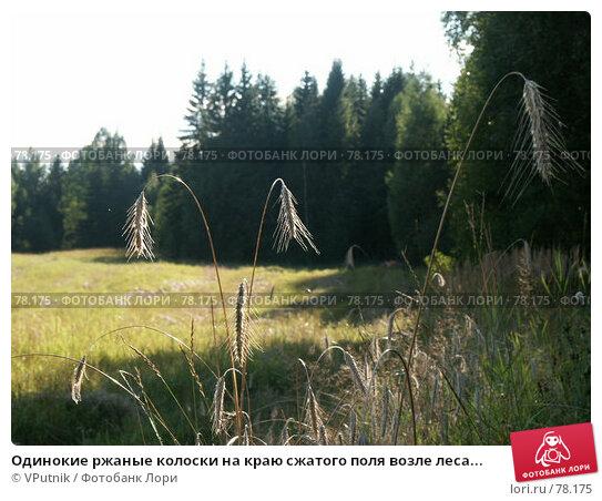 Одинокие ржаные колоски на краю сжатого поля возле леса..., фото № 78175, снято 18 августа 2005 г. (c) VPutnik / Фотобанк Лори