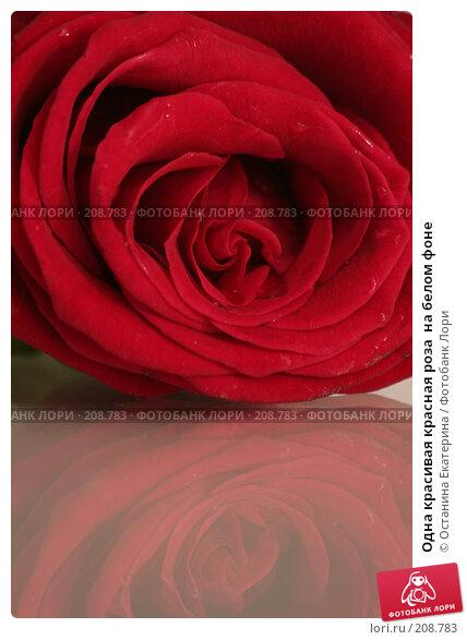 Одна красивая красная роза  на белом фоне, фото № 208783, снято 17 января 2008 г. (c) Останина Екатерина / Фотобанк Лори
