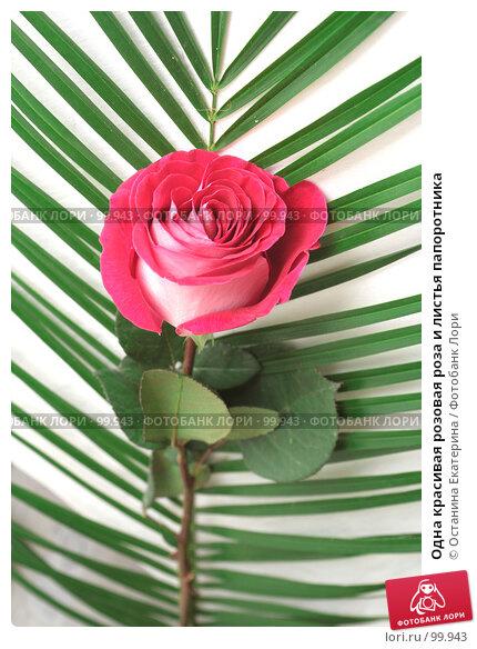 Одна красивая розовая роза и листья папоротника, фото № 99943, снято 12 октября 2007 г. (c) Останина Екатерина / Фотобанк Лори