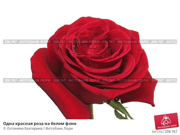 Одна красная роза на белом фоне, фото № 208767, снято 15 января 2008 г. (c) Останина Екатерина / Фотобанк Лори