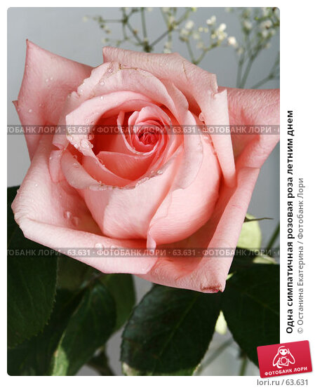 Одна симпатичная розовая роза летним днем, фото № 63631, снято 13 июля 2007 г. (c) Останина Екатерина / Фотобанк Лори