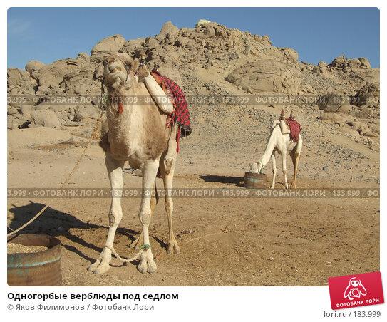 Одногорбые верблюды под седлом, фото № 183999, снято 13 января 2008 г. (c) Яков Филимонов / Фотобанк Лори