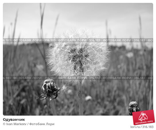 Одуванчик, фото № 316183, снято 9 июня 2008 г. (c) Василий Каргандюм / Фотобанк Лори