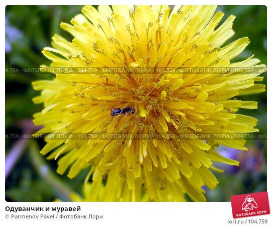 Купить «Одуванчик и муравей», фото № 104759, снято 26 апреля 2018 г. (c) Parmenov Pavel / Фотобанк Лори