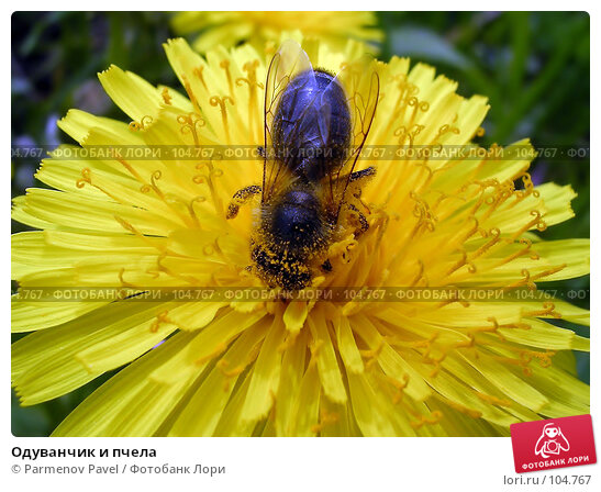 Одуванчик и пчела, фото № 104767, снято 28 октября 2016 г. (c) Parmenov Pavel / Фотобанк Лори
