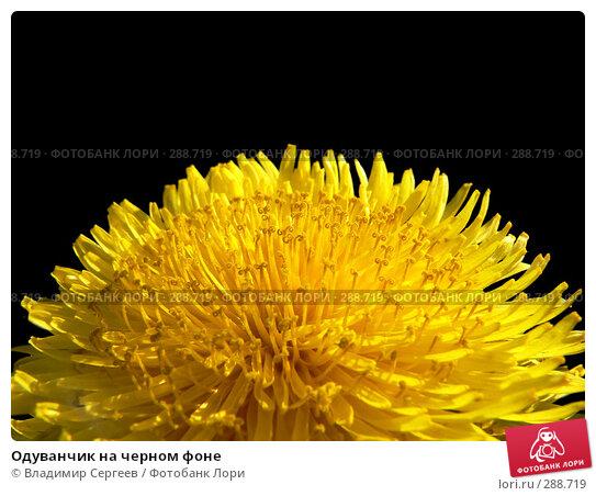 Купить «Одуванчик на черном фоне», фото № 288719, снято 21 марта 2018 г. (c) Владимир Сергеев / Фотобанк Лори