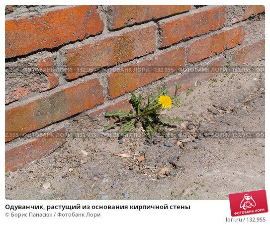 Одуванчик, растущий из основания кирпичной стены, фото № 132955, снято 9 апреля 2005 г. (c) Борис Панасюк / Фотобанк Лори