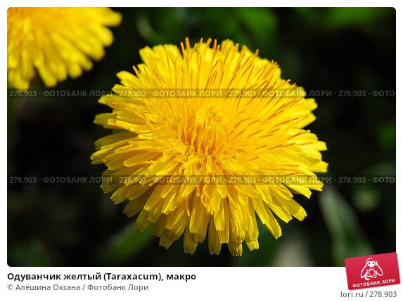 Одуванчик желтый (Taraxacum), макро, эксклюзивное фото № 278903, снято 30 апреля 2008 г. (c) Алёшина Оксана / Фотобанк Лори