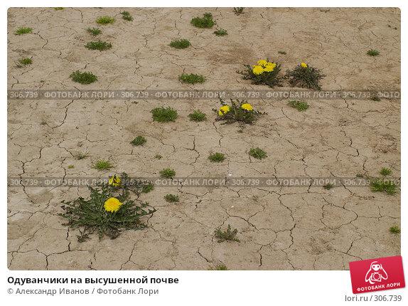 Одуванчики на высушенной почве, фото № 306739, снято 10 мая 2008 г. (c) Александр Иванов / Фотобанк Лори