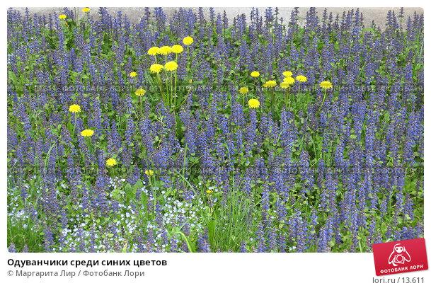 Одуванчики среди синих цветов, фото № 13611, снято 21 мая 2006 г. (c) Маргарита Лир / Фотобанк Лори