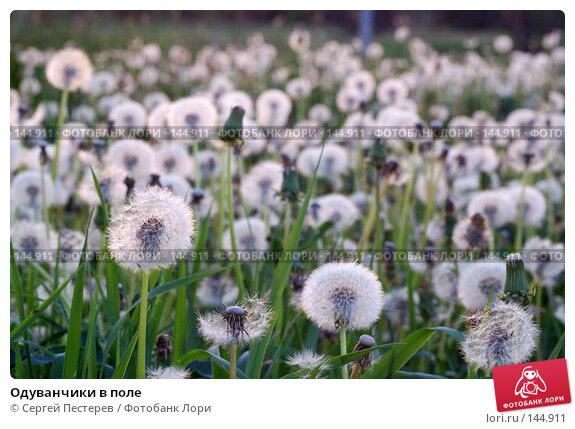 Одуванчики в поле, фото № 144911, снято 31 мая 2007 г. (c) Сергей Пестерев / Фотобанк Лори