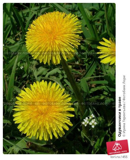 Одуванчики в траве, эксклюзивное фото № 455, снято 4 мая 2004 г. (c) Ирина Терентьева / Фотобанк Лори