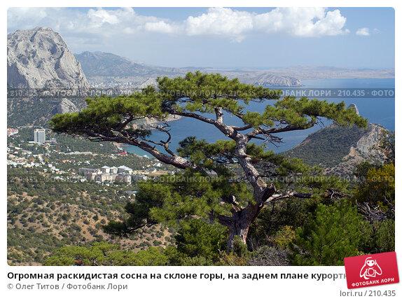 Огромная раскидистая сосна на склоне горы, на заднем плане курортный поселок Новый Свет (Крым), фото № 210435, снято 26 сентября 2007 г. (c) Олег Титов / Фотобанк Лори