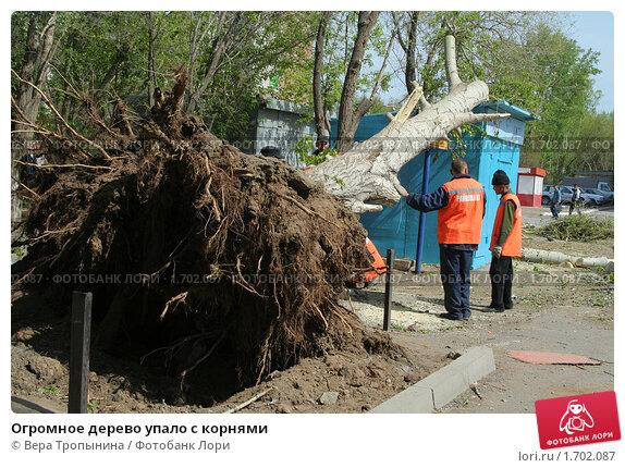 Купить «Огромное дерево упало с корнями», фото № 1702087, снято 14 мая 2010 г. (c) Вера Тропынина / Фотобанк Лори