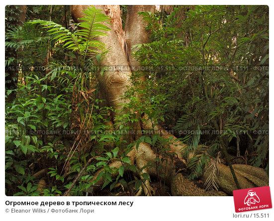Огромное дерево в тропическом лесу, фото № 15511, снято 8 декабря 2006 г. (c) Eleanor Wilks / Фотобанк Лори